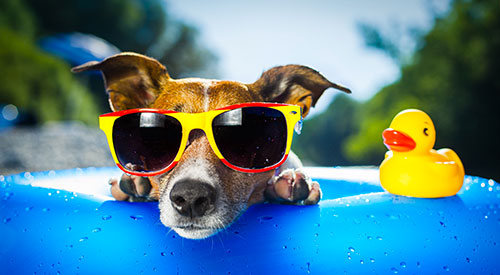 Tips for summer - a dog in sunglasses